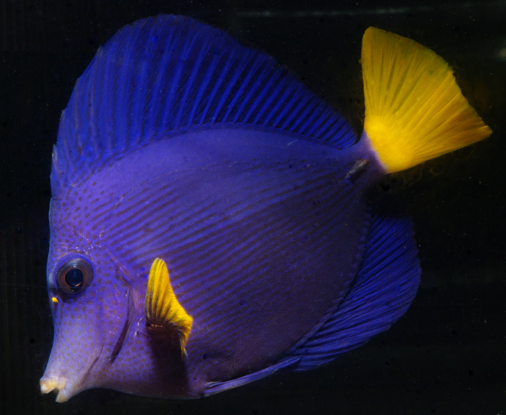 400513 - New Red Sea Fish and New Aquacultured Items at A&M Aquatics