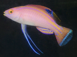 421050 260 - New Red Sea Fish and New Aquacultured Items at A&M Aquatics
