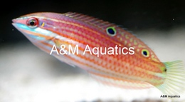 421350 260 - New Red Sea Fish and New Aquacultured Items at A&M Aquatics